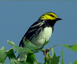 picture of a golden-cheeked warbler