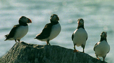 puffins on a rock